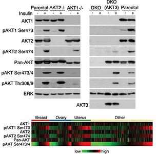 Validation of AKT isoform-specific antibodies