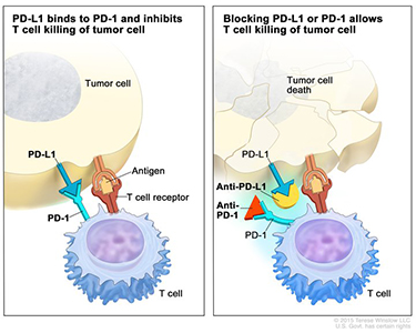 Image for immune checkpoint blockade.