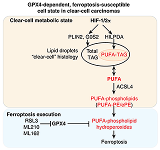 Scheme summarizing the molecular network driving the intrinsic GPX4 dependency and ferroptosis susceptibility in clear-cell carcinomas