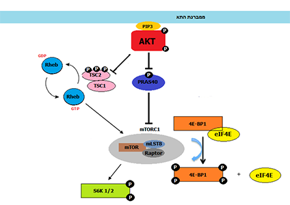 AKT mediated Cell growth scheme