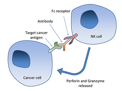Antibody-dependent cell-mediated cytotoxicity