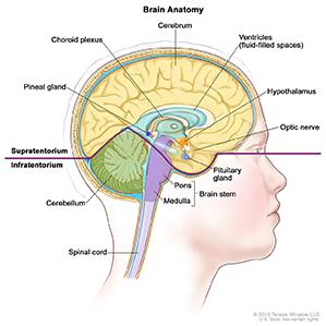 Brain, Medial, Child, Anatomy-CNS Germ Cell Tumor-HP