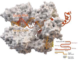 Model of CRISPR/Cas9 complex on DNA