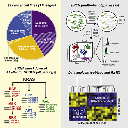 Graphical Abstract of Differential Effector Engagement by Oncogenic KRAS Article.