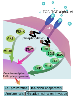 Cartoon of EGFR signaling