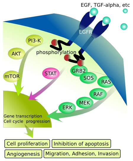 EGFR Signaling Pathways