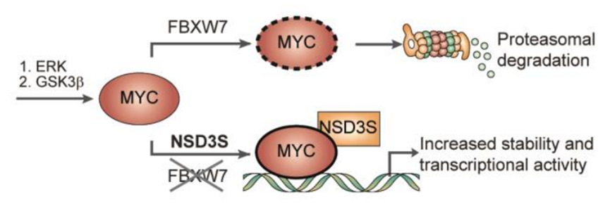 Proposed model for NSD3S role in MYC protein stability