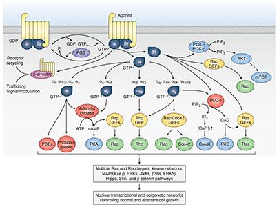 GPCR Signaling