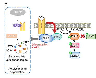 Proposed model of the mechanism underlying the oncogenicity of p85β
