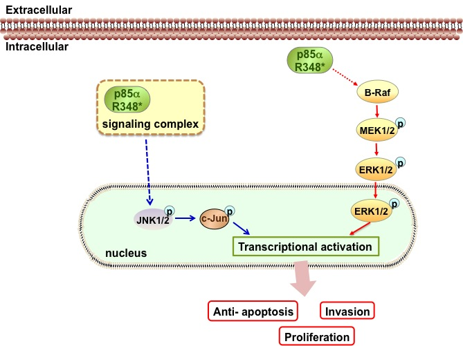 In the absence of an external signal, P85αR348* activates MAPK signaling