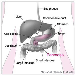 Image of the pancreas and nearby organs and structures in the digestive tract.