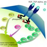 EGFR Signaling Pathways