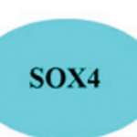 Summary hypothesis of the effects of SOX4 on WNT5a and invasion.